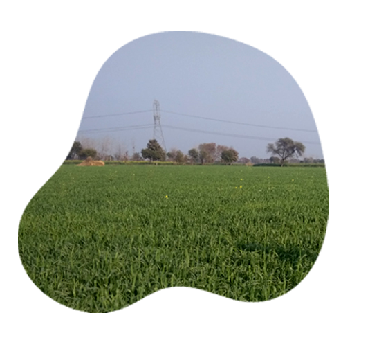 Organic Wheat Grain by Apni jaivik kheti