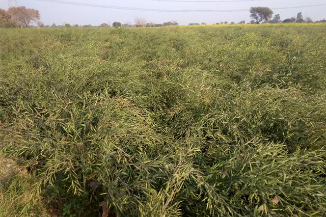 Mustard  Apni jaivik kheti An Organic farm