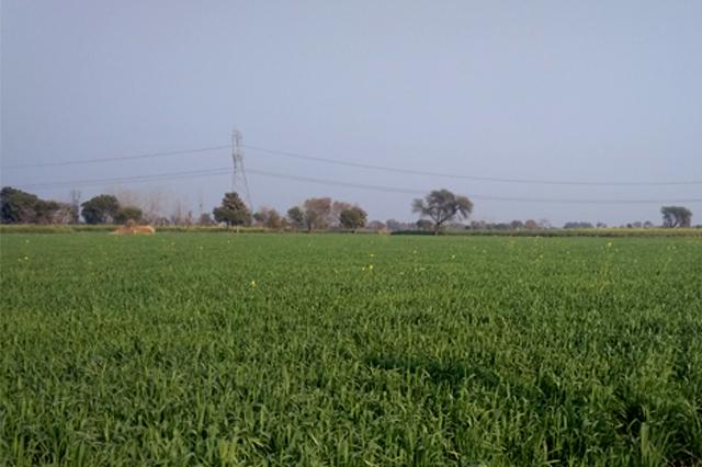 Wheat Apni jaivik kheti An Organic farm