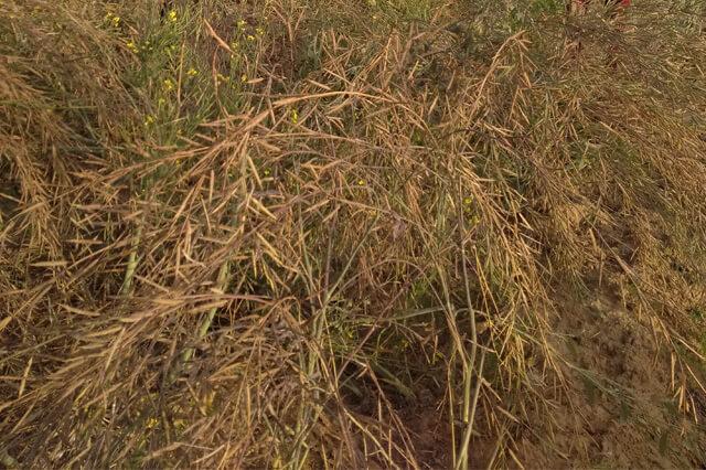 Organic Mustard Farming Apni jaivik kheti An Organic farm