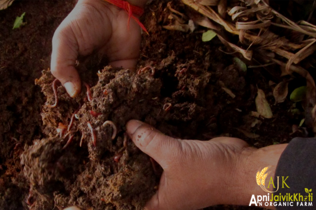 Vermicompost play an important role in Organic Farming Apni jaivik kheti An Organic farm